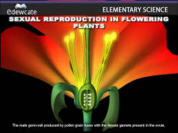 What Is The Meaning Of The Hibiscus Flower - sexual reproduction in flowering plants fertilization youtube
