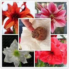 flower bulbs amaryllis reviews shopping flower bulbs