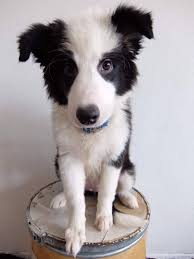 bearded collie x border collie puppies for sale pedigree border collie puppies for sale in thailand