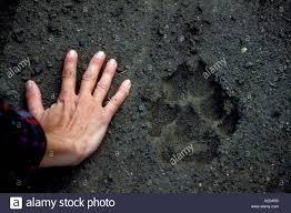 mw 45 gray wolf paw print stock photo 5992689 alamy