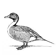 duck illustration clipart free stock photo public domain pictures