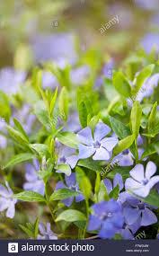 vinca flowers vinca flowers closeup apocynaceae family periwinkle or myrtle