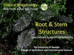 Adaptations Of Tropical Rainforest Plants - tropical morphology how plants adapt rain forest the university of