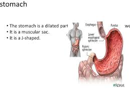Esophagus And Stomach Anatomy 1 Amashaya Anatomy Ppt Download