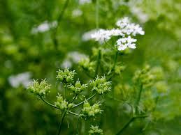 tips for growing cilantro in the garden