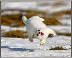 Weasel Meme - snow white weasel for the monday i can has cheezburger