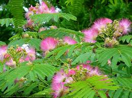 invasive non native plants mimosa mimosa tenuiflora mimosa hostilis non native invasive