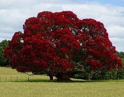Pre Decorated Christmas Tree Nz by 93 Best Pohutukawa New Zealand U0027s Christmas Tree Images On