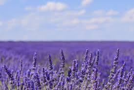 lavender flowers the difference between lavender culinary lavender home guides