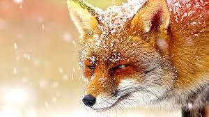 bbc four the wonder of animals foxes