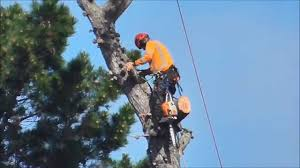 tree felling chainsawing the top a 100ft pine tree