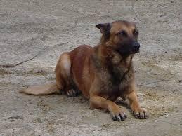 american bulldog x belgian malinois malinois german shepherd cross dog and cat