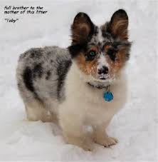 australian shepherd pomeranian mix best 25 corgi mix breeds ideas on pinterest husky breeds dog