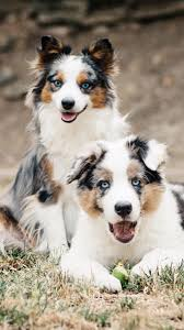 australian shepherd crufts 2015 82 best australian shepherds images on pinterest animals aussie