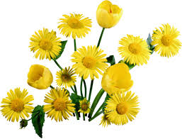 yellow daisy wallpapers wallpaper tulips daisies yellow sun bunch hd picture image