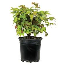 Gardenia Topiary Southern Living Plant Collection 2 5 Qt Jubilation Gardenia 2096q