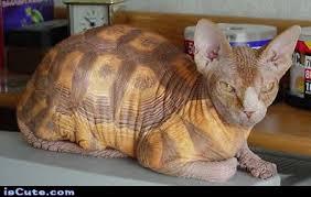 Hairless Cat Meme - tortoise shell cat iscute com