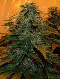 northern lights yield indoor lights marijuana seeds