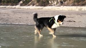 hiking with australian shepherds funny video australian shepherd dog hunting fish on the rocks