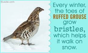 marvelously intriguing facts about the ruffed grouse