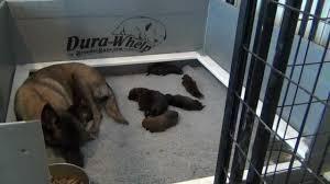 belgian shepherd dog puppies for sale puppies for sale puppies belgian malinois puppies for sale