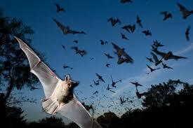 mammiferi volanti foto sei falsi miti sui pipistrelli 1 di 7 national geographic
