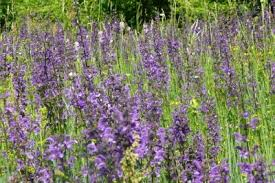 salvia flower salvia plant types growing information and care of salvia plants