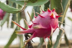 pitahaya dragon fruit tips on growing dragon fruit trees