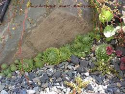 Rock Garden Succulents Crevice Gardens Rockeries Cliff Gardens Or Scree