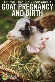 goat pregnancy u0026 birth all you need to know about goat kidding