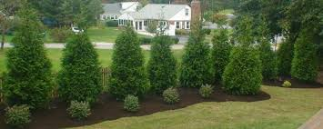 Lawn And Landscape by J W U0027s Lawn And Landscape Privacy Trees In Maryland