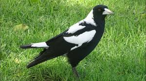 australian magpie 02 一australian magpie singing youtube