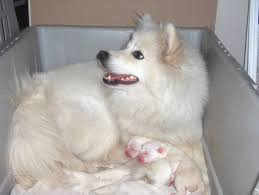 american eskimo dog lab mix american eskimo dog pictures