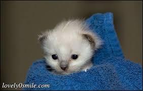 صور قطط تدحك,صور قطط,صور قطط جميلة,صور قطط حلوه Images?q=tbn:ANd9GcQZL3DaIeWAAKcmZZN2tfiG5g97ZYWs8qUMlsBCFNZIE27uhRfMpA