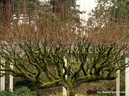 16 best ornamental trees images on photos of view