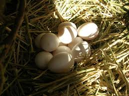 egg binding symptoms treatment and prevention backyard chickens
