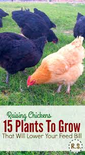 452 best backyard chickens urban chickens images on pinterest