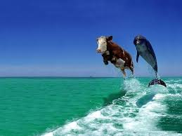 dolphins jumping cow and dolphin jumping where is more further
