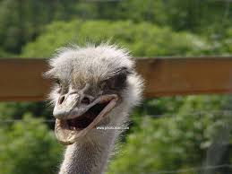 Ostrich Meme - funny ostrich photos funny animal