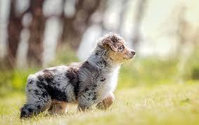australian shepherd odor australian shepherd dog dog breed atlas