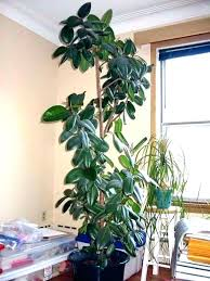 indoor trees that don t need light large low light indoor plants low light indoor trees low light