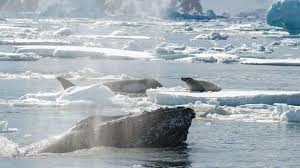 why did a humpback whale just save this seal u0027s life science aaas