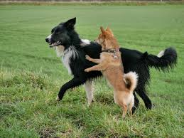 belgian shepherd or border collie free images animal young border collie friends happy a