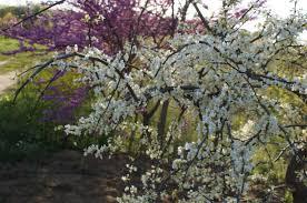 redbud native plant nursery vanilla twist weeping redbud monrovia vanilla twist weeping redbud