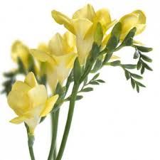 Discount Flowers Bulk Discount Flowers Yellow Freesia