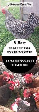 best backyard chicken 5 best breeds for your backyard flock ebook backyard chickens