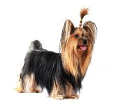 haircuts for yorkies haircuts for a yorkshire terrier