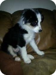 australian shepherd or border collie daphne adopted puppy north las vegas nv border collie