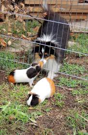 13927 best beautiful guinea pigs images on pinterest guinea pigs