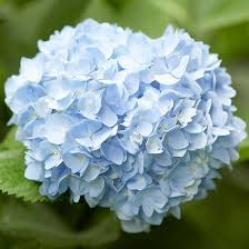hydrangeas flowers how to get more hydrangea flowers